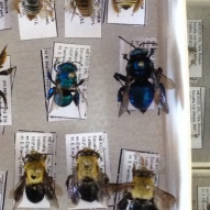 Bees from the entomology collection at CUCBA.