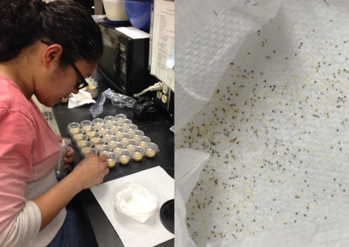 Loren Rivera Vega is putting little tiny neonates on their food. Those are eggs and babies on the paper towel, and she's moving them with a paint brush.
