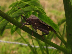 Another Hemipteran
